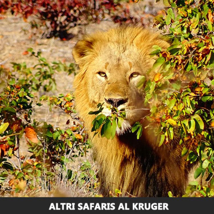 Altri Safari al Kruger