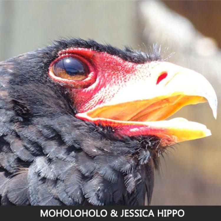 Moholoholo Rehab Centre & Jessica Hippo