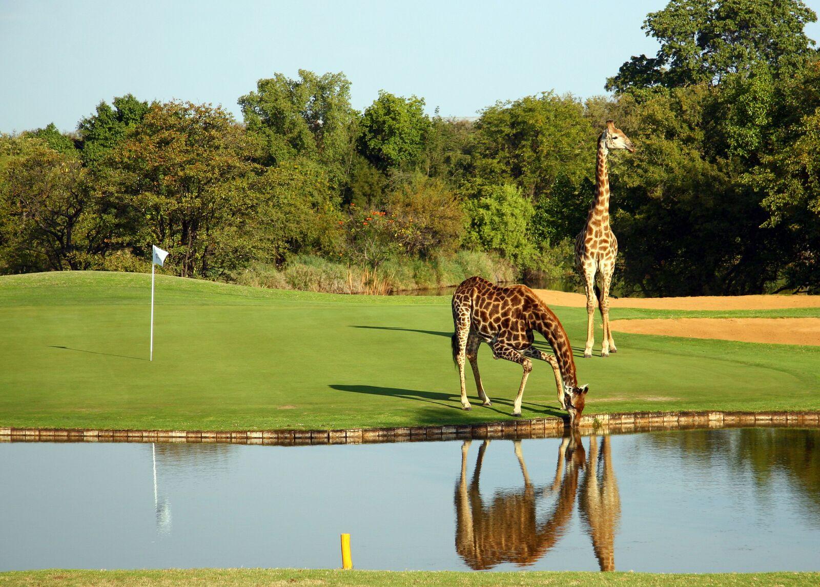 golf in the wild with giraffe