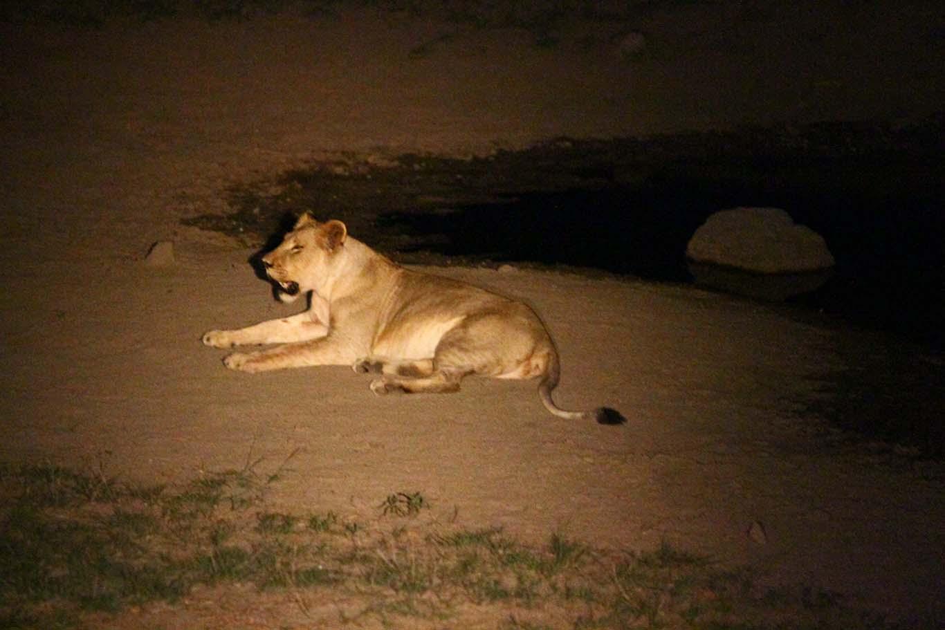 lioness on the night safari